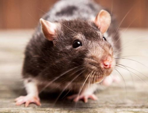 Rodent and other Dangerous Animal Removal and Cleanup