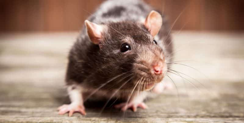 Closeup of a rat