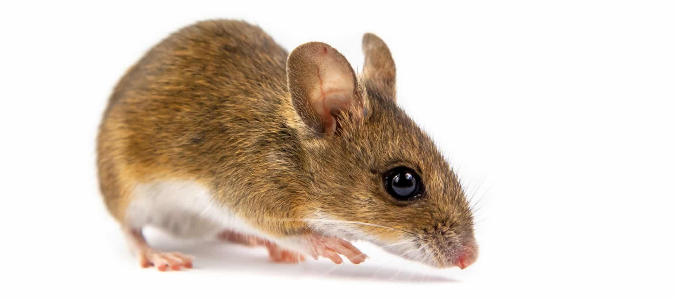 Mouse in front of white background