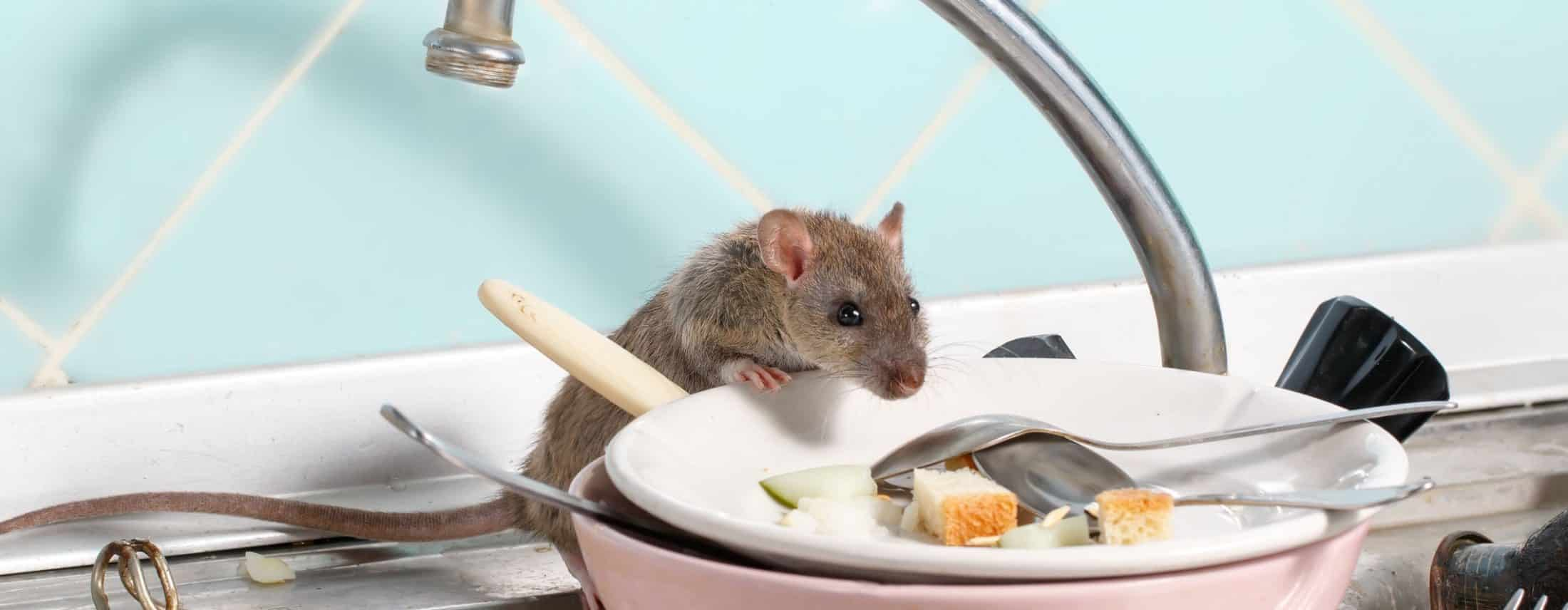 Rat climbing on dishes in a kitchen